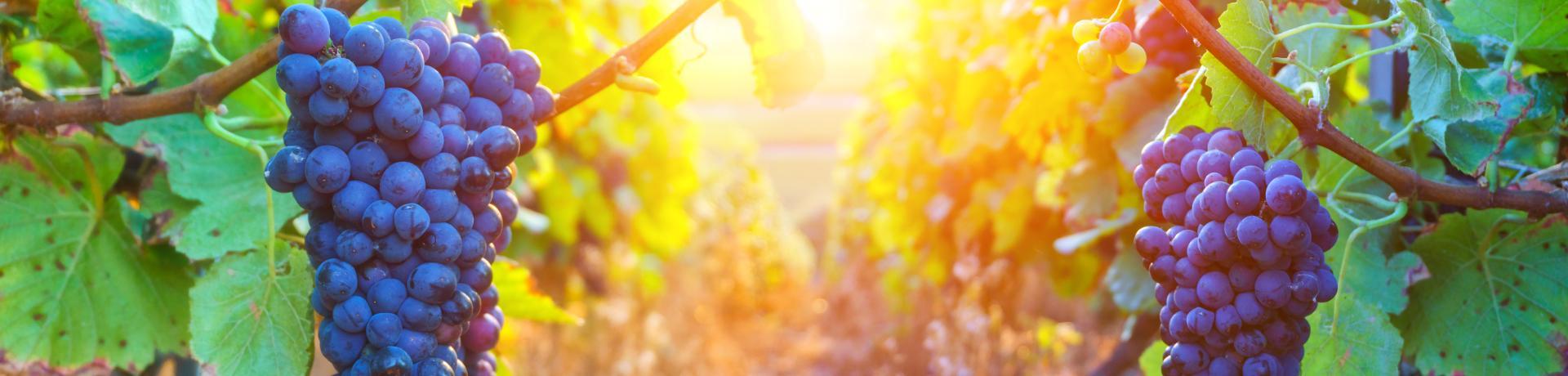 Weinfeste-Weinreben-Weintrauben-Emotion