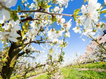 Obstbaumblüte Altes Land - Niedersachsen