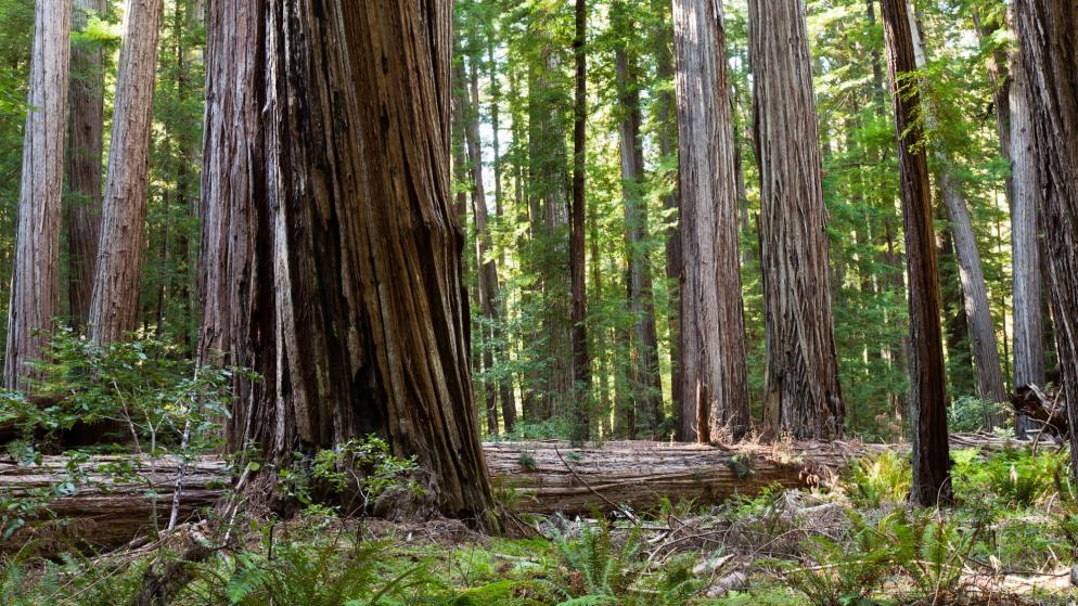 USA: Kalifornien - Jedediah Smith Redwood State Park